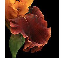 Bronze Iris Photographic Print