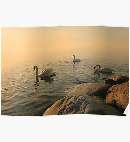 A Trio Of Swans At Sunrise Poster