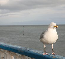 SEAGULL.  by ccrcats