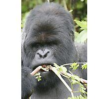 Gorilla Snack Photographic Print