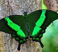 Emerald Swallowtail (Papilio Palinurus) by Deborah V Townsend