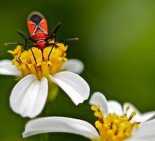 Boxelder Bug (Boisea Trivittatus) by Deborah V Townsend