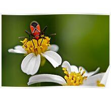Boxelder Bug (Boisea Trivittatus) Poster