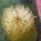 Banksia Closeup by Maximus