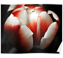 Red White Tulip Poster