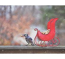 Winter Blue Jay #2 Photographic Print