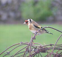 Garden Goldfinch by Mark  O'Mahony