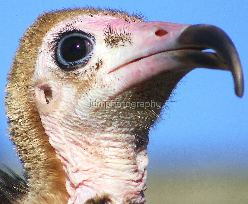 Hooded Vulture by jdmphotography