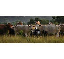 Freaky Cow  Photographic Print