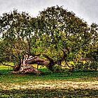 Mission Espanda Courtyard Tree by Roger Passman