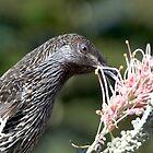 Little Wattle Bird ~ Concentration  by Robert Elliott