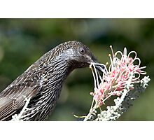 Little Wattle Bird ~ Concentration  Photographic Print