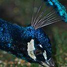 Peacock by Chris  Parlee