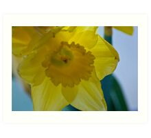 Softened Daffodil Art Print