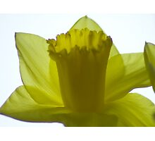 Yellow Daffodil against light background Photographic Print