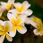 White Frangipani by Dev Wijewardane