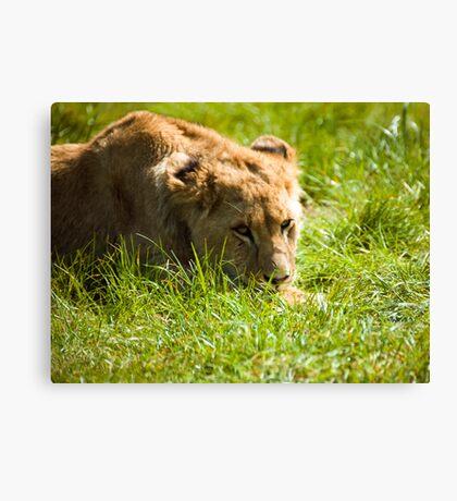 lion cub Canvas Print