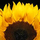 Sunflower in darkness by olwen Fisher