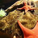 orange starfish by Adria Bryant