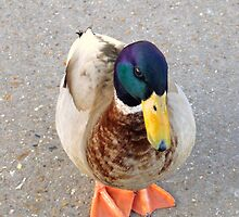 Hello Mr Duck by CinB