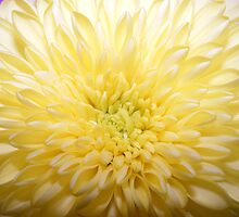 Bursting yellow flower by olwen Fisher