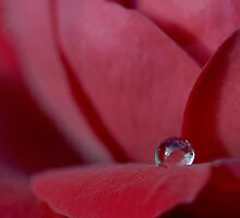dew drop on red rose by SharonLea