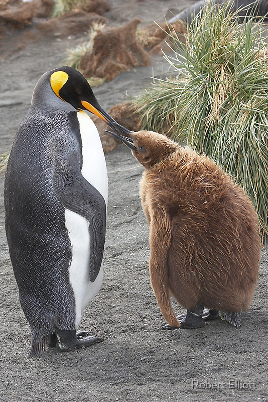 King Penguin and chick ~ Meal Time by Robert Elliott