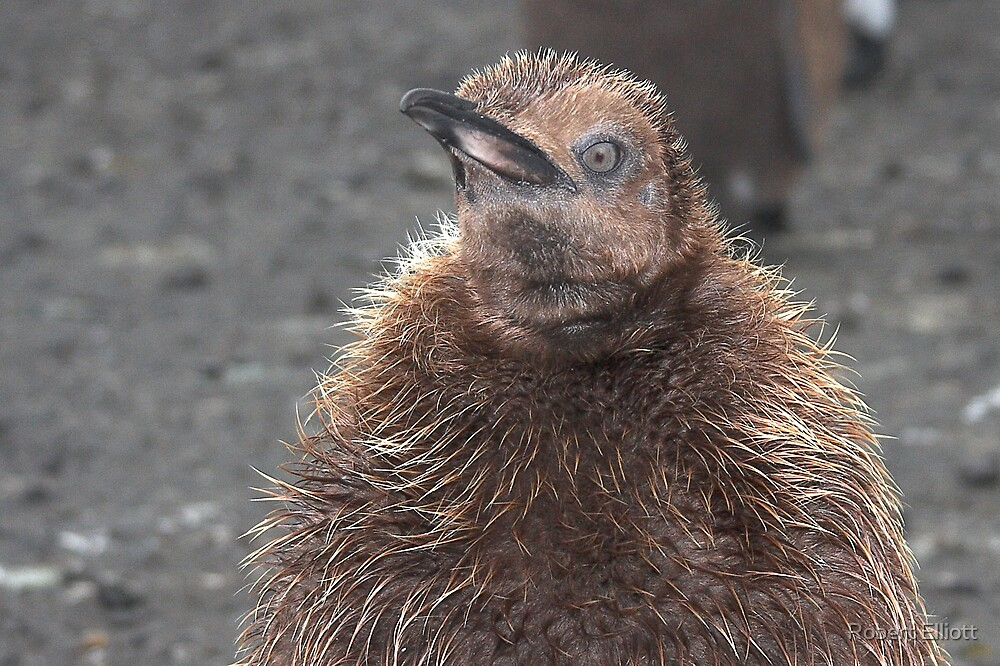"King Penguin Chick ~ ""Attitude"" by Robert Elliott"