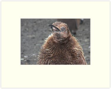 "King Penguin Chick ~ ""Attitude"" by Robert Elliott"