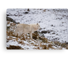 Arctic Wolf on Hill Metal Print