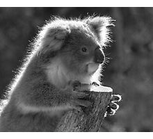 Young Koala BW Photographic Print