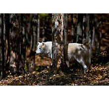 Arctic Wolf in Forest Photographic Print