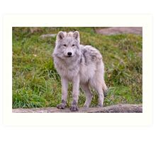 They're Growing - Arctic Wolf Pups  Art Print