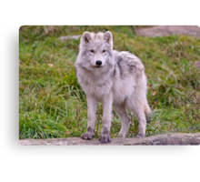They're Growing - Arctic Wolf Pups  Canvas Print