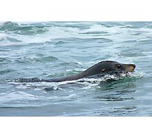 The Hooker's - Sealion - Kaka Point - New Zealand Photographic Print