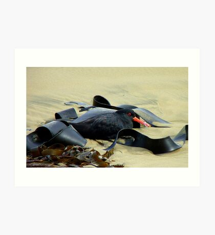 You Can't See Me! - Variable Oysercatcher - Southland - NZ Art Print
