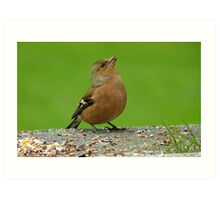Hey, There Is Plenty Down Here! - Chaffinch - NZ Art Print