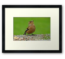 Hey, There Is Plenty Down Here! - Chaffinch - NZ Framed Print