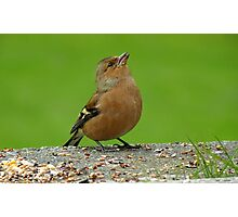 Hey, There Is Plenty Down Here! - Chaffinch - NZ Photographic Print