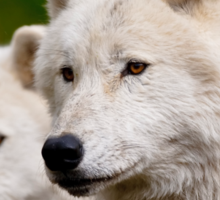 Arctic Wolf Pair Sticker