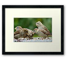Buffet Lunch! - Sparrows - NZ Framed Print