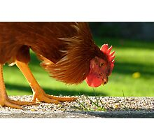 Ferdinand The Bull! - Rooster - Southland NZ Photographic Print