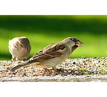 Always Be Alert! - House Sparrows - NZ Photographic Print