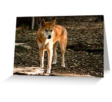 Australian Dingo Greeting Card