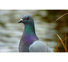 This Is The Life - Wild Pigeon - NZ Photographic Print