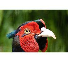 Now Thats Close Enough Lady! - Common Pheasant - NZ Photographic Print