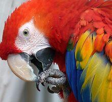 Scarlett O'Hara! - Scarlet Macaw - NZ by AndreaEL