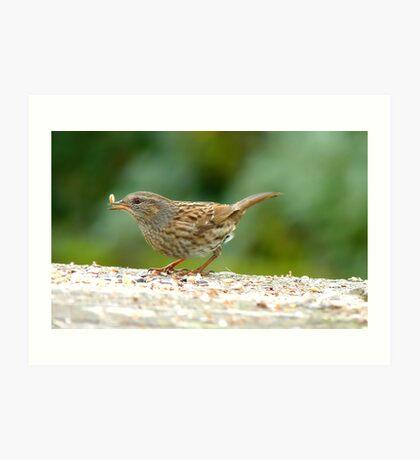 Ooops!! That One Got Away! - Dunnock Hedge Sparrow - NZ Art Print