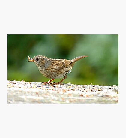 Ooops!! That One Got Away! - Dunnock Hedge Sparrow - NZ Photographic Print