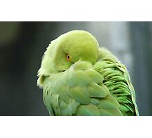 Hey I'mTrying To Catch Some Zzzzzz! - Ringneck Parrot - NZ Photographic Print